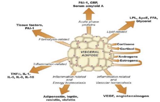 Funzioni endocrina dell'adipocita